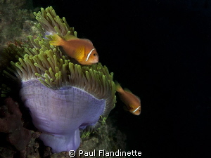 Maldives anemonefish, Amphiprion nigripes, Maldives, Maya... by Paul Flandinette 
